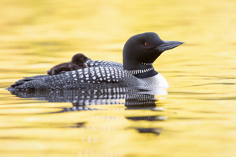 #1239 Common Loon and Chick