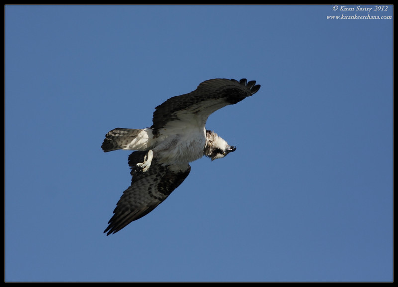 Osprey with 180 degree head turn in the air, Robb Field, San Diego River, San Diego County, California, February 2012
