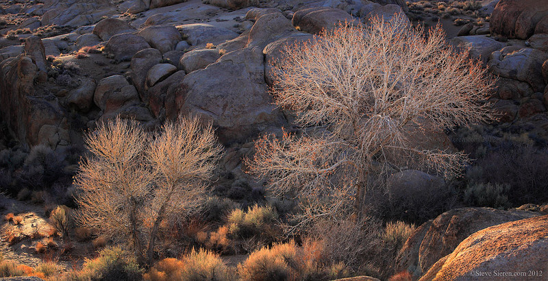 Panoramic of two cottonwood trees in the Alabama Hills.