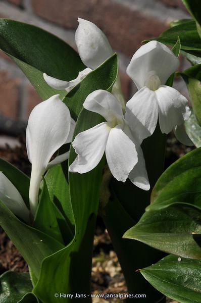 Roscoea humeana alba (org CLD)