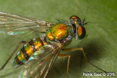 Shimmering Long Legged Fly