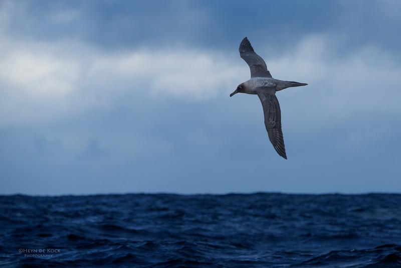 Light-mantled Sooty Albatross, Eaglehawk Neck Pelagic, TAS, May 2016-4.jpg