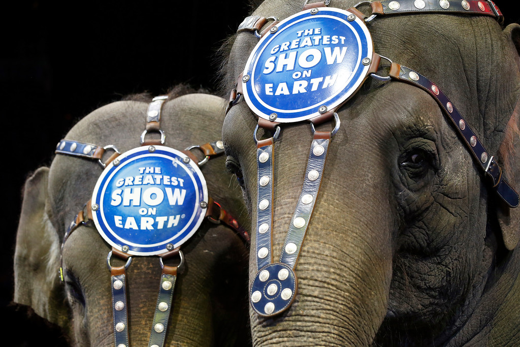 . Elephants Bonnie, left, and Kelly Ann stand  during media availability before a performance of the Ringling Bros. and Barnum & Bailey Circus, Thursday, March 19, 2015 in Washington. It was recently announced elephants would be eliminated from its circus performances by 2018. (AP Photo/Alex Brandon)