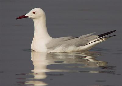 Slender-Billed Gull (Gaviota picofina)