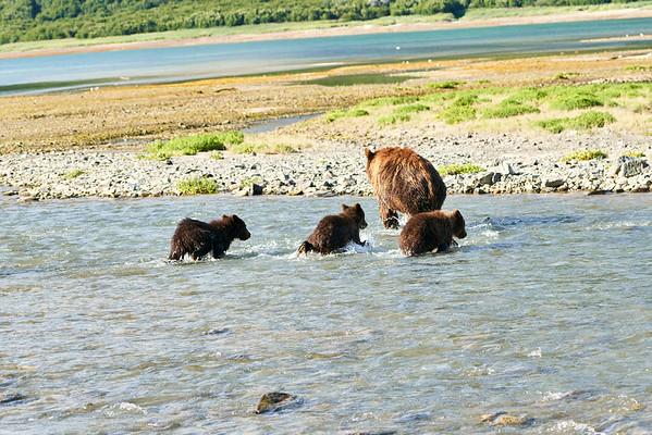 Mother Brown Bear Spring Triplets Katmai