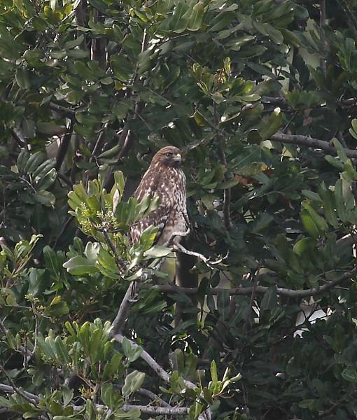 Cooper's Hawk, Famosa Slough, San Diego County, California, December 2008