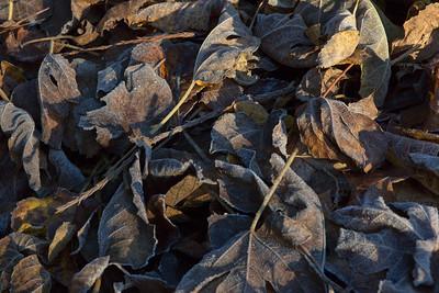 Oregon garden - first frost