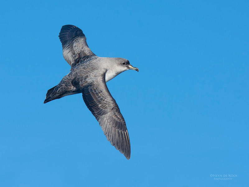 Grey Petrel, Eaglehawk Neck Pelagic, TAS, May 2016-3.jpg
