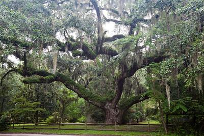 The Secession Oak