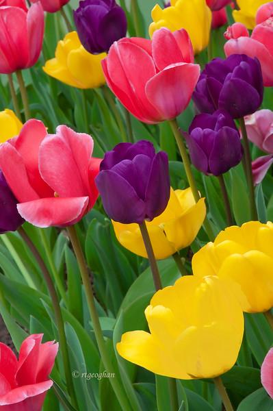 April 15_Tulips_0911.jpg