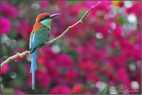 Bee-eaters - Family: Meropidae