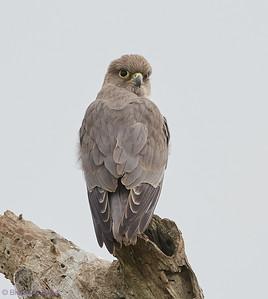 Falcons and Caracaras