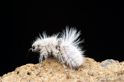 Dasymutilla gloriosa - Thistledown Velvet Ant.   California, USA.