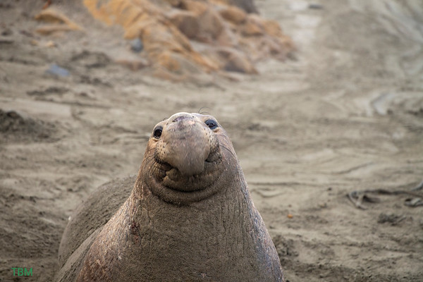Seal / Sea Lion