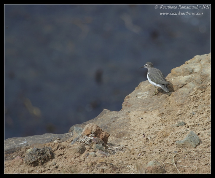 Spotted Sandpiper, Cabrillo National Monument, San Diego County, California, October 2011