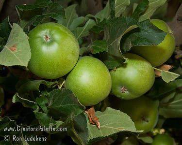 Granny Smith Spur Apple - Malus sp.