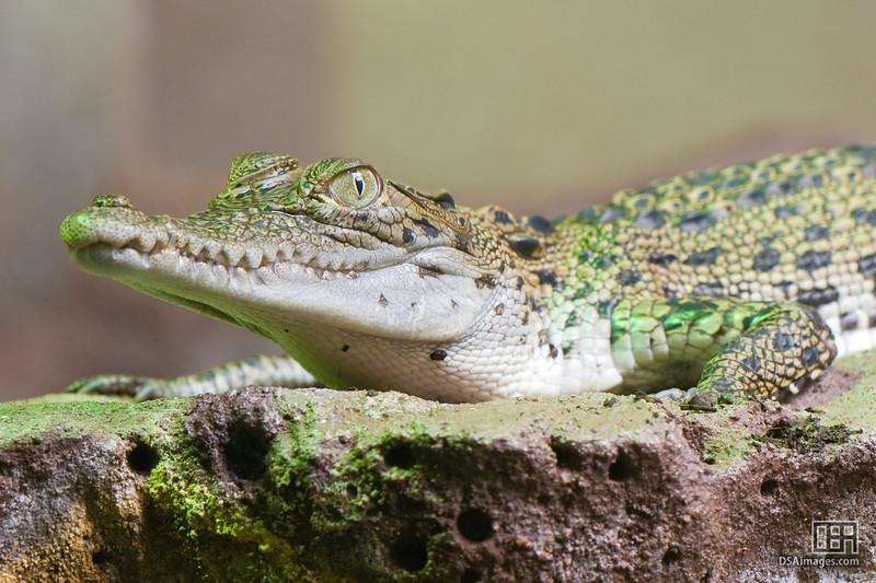 Young Saltwater Crocodile (Crocodylus porosus)
