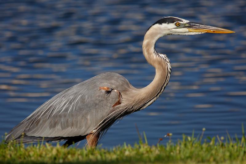 Great Blue Heron-6313136
