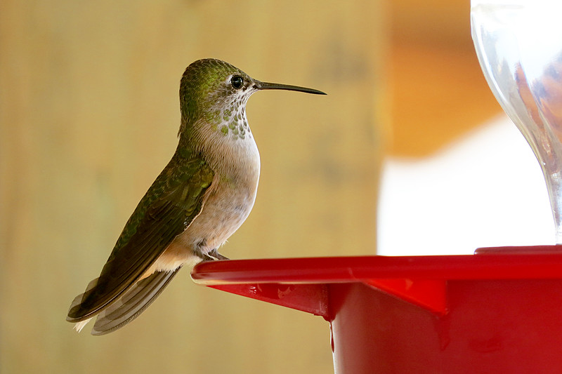 Hummingbird green spots.jpg