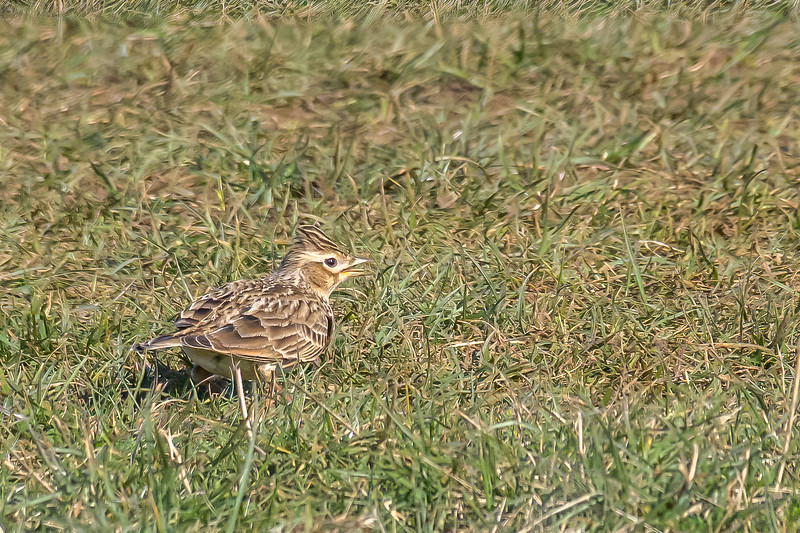 Skylark looking up mouth open