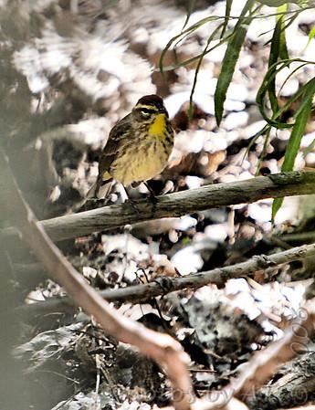 2006-04-27 Riverlands Migratory Bird Sanctuary
