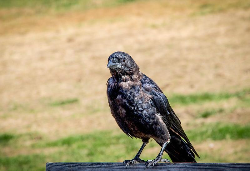 Crow_01b.jpg