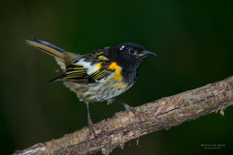 Stitchbird, Tiritiri Matangi, NZ, March 2015-3.jpg