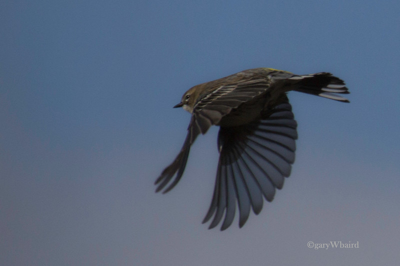 Yellow Rumped Flight