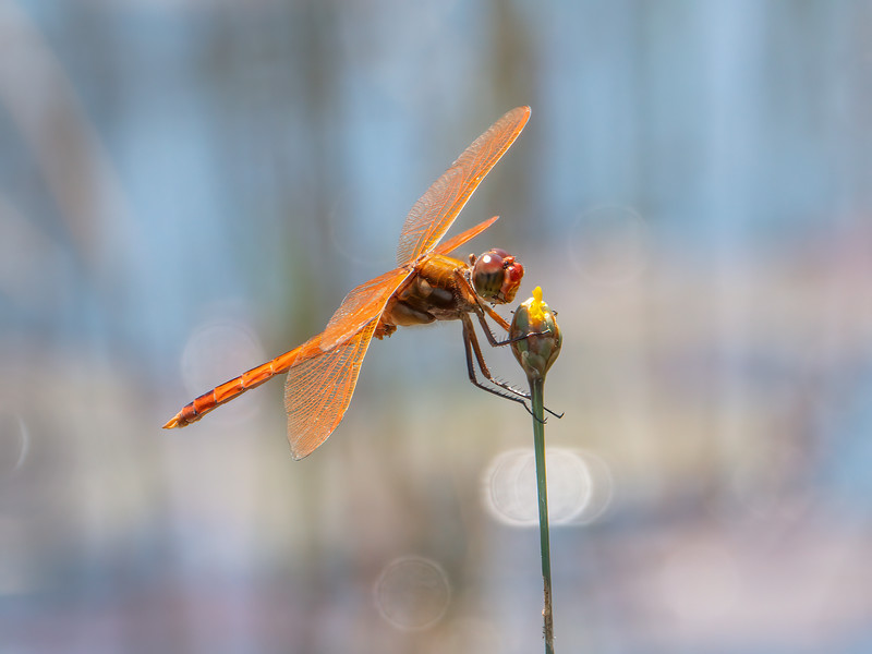 Golden-winged Skimmer (Libellula auripennis), male