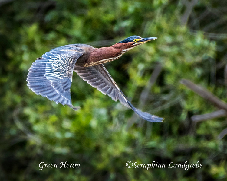 _DSC8678Green Heron Flight.jpg
