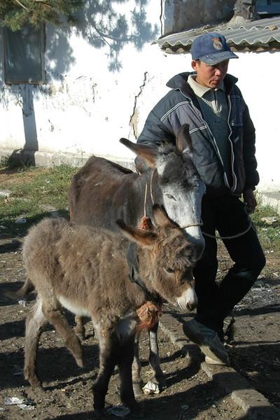 Karakol Animal Market, Little Donkeys - Kyrgyzstan