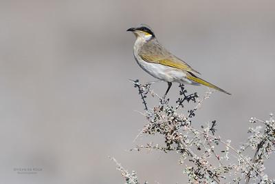 Singing Honeyeater (Gavicalis virescens)