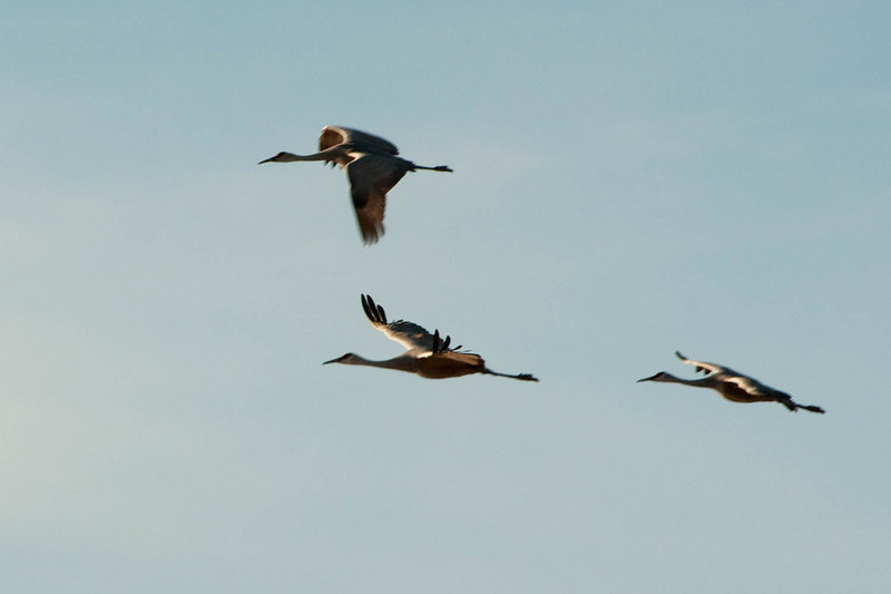 beauty in motion. Sandhill cranes with wingspan up to 7 feet.