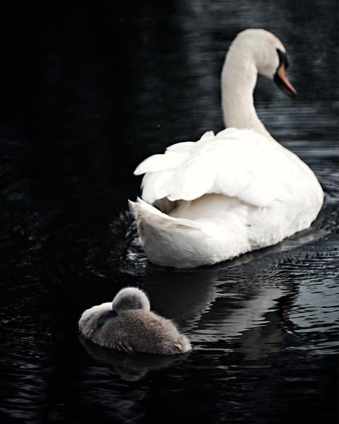 Swans_Of_Castletown029.jpg