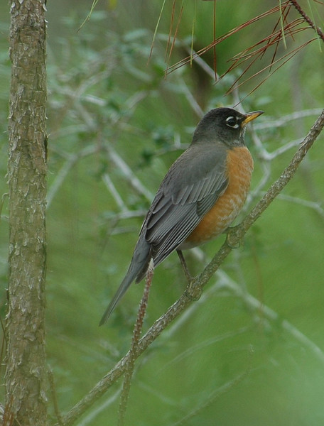 Robin - American - St. George Island, FL