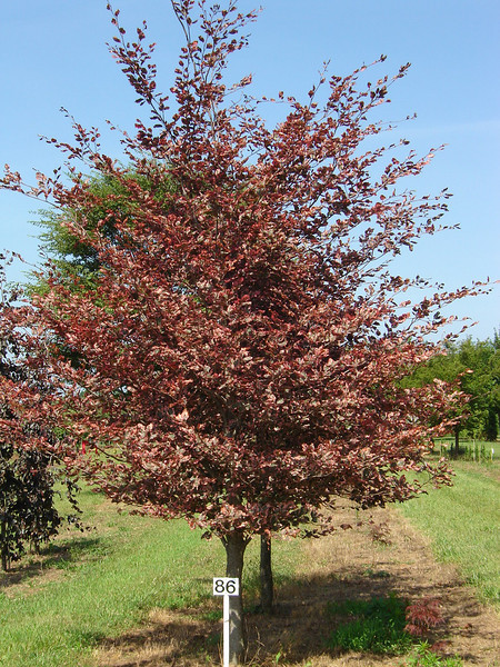 Fagus sylvatica 'Tricolor'