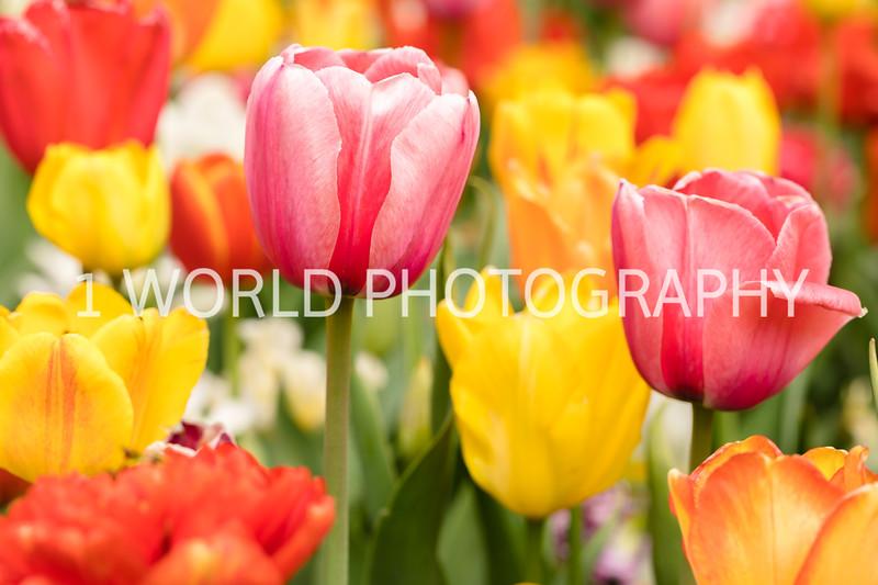 Holland, MI, Tulips -37-66.jpg
