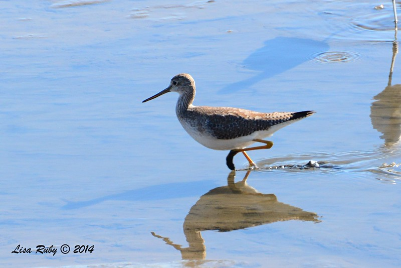 Greater Yellowlegs - 12/29/2014 - San Diego River across from Sea World
