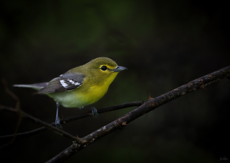 Yellow Throated Vireo