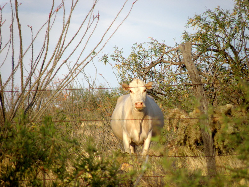 White Cow Looking at YOU!!