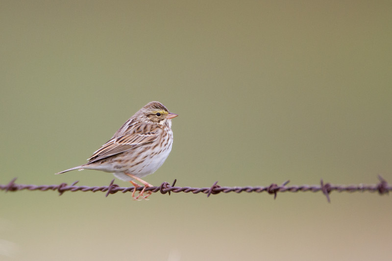 Savannah Sparrow - CA, USA