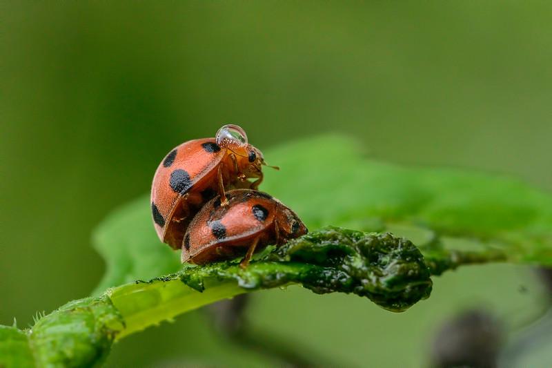 Lady-bugs-pair.jpg