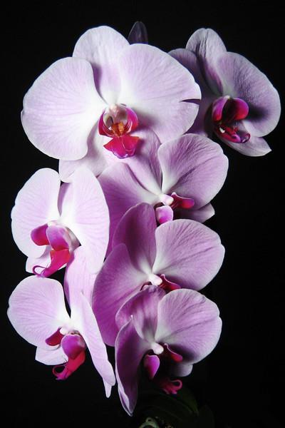 Purple phaelenopsis FLW031.jpg