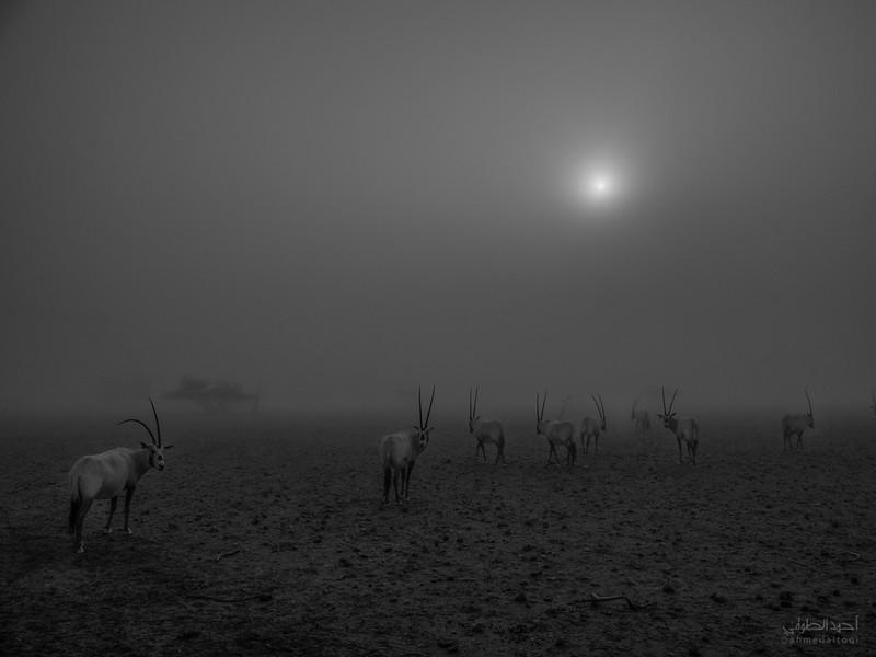 Arabian Oryx (32).jpg
