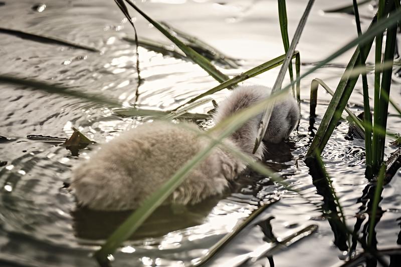 Swans_Of_Castletown048.jpg