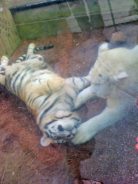 A LIGER and a tiger playing at Barefoot Landing.