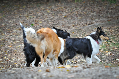 10/3/2010 Tri-State Collie Rescue Reunion at Companion Dog Park, Delaware Ohio
