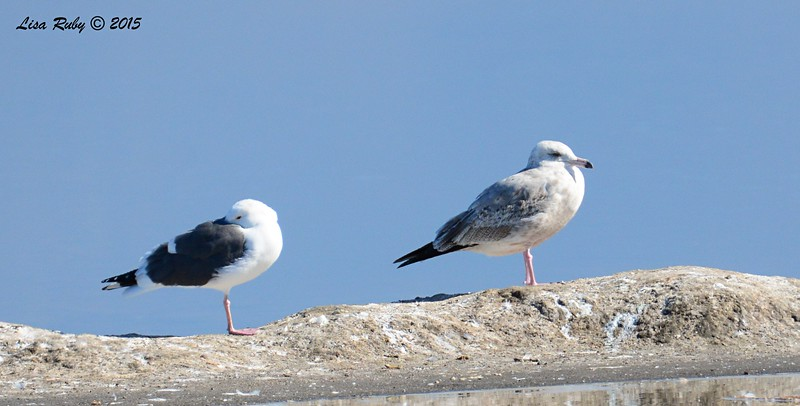 Western Gull and Immature Herring Gull - 1/17/2015 - Salt Works, Chula Vista