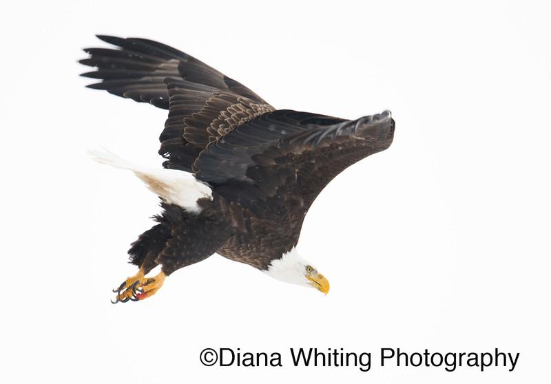 03_02_2019bald eagles_191 copy.jpg