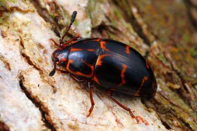 Erotylidae - Pleasing Fungus Beetles
